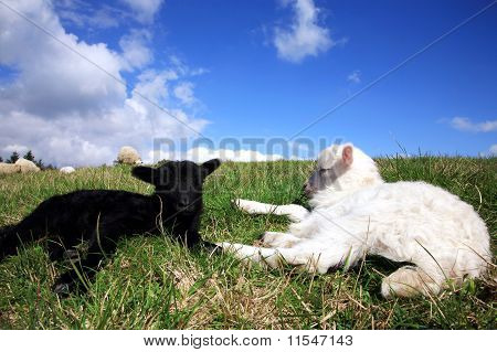 White and black sleeping lambs. Herd of sheeps, Skudde - the most primitive and smallest sheep breed in Europe on the field in Pasterka village in Poland. poster