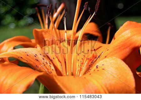 Detail Of Orange Lily