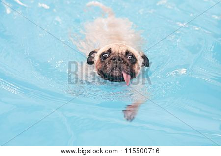 a cute dog Pug swim at a local public pool