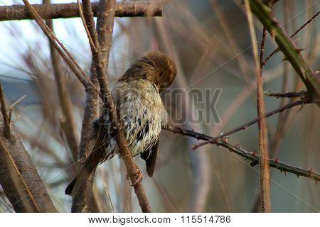 Preening Sparrow