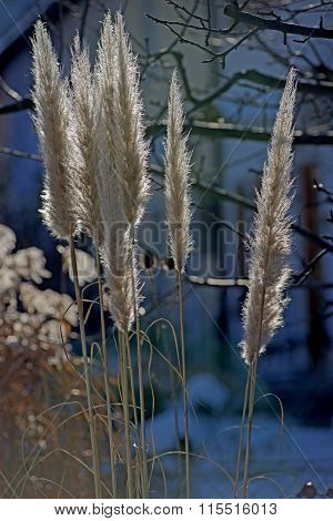 Pampas Grass, Cortaderia Selloana In Winter