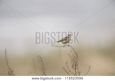 Meadow pipit perched on a piece of dry grass