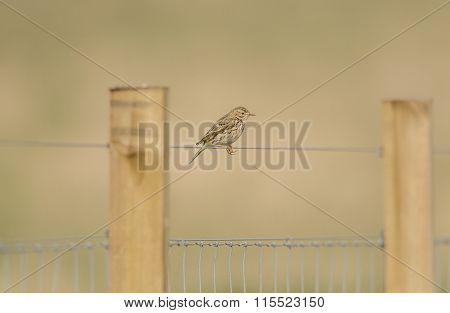 Meadow pipit perched on a fence wire
