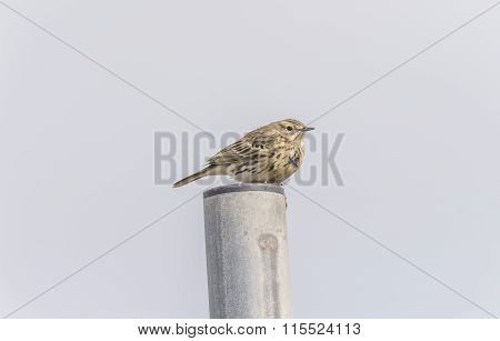 Meadow pipit perched on top of a metal pole