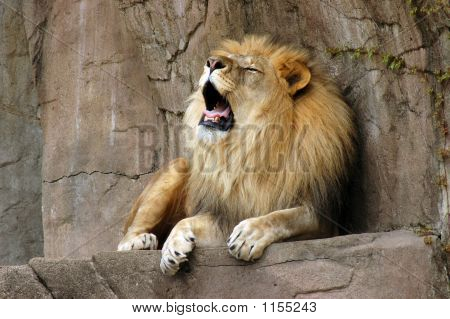 Roaring Lion On Rock Ledge At Brookfield Zoo