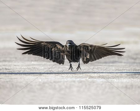 Crow Corvus corone on ice during the Winter