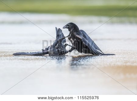 Crows Corvus corone fighting on ice during the Winter