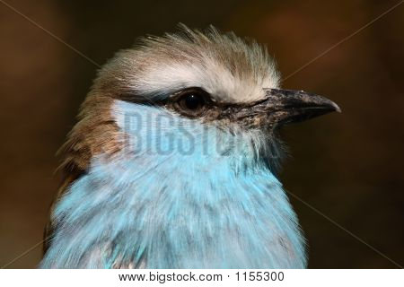 Racquet Tailed Roller