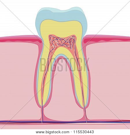 Vector structure of human tooth. Isolated anatomy on white background. Realistic macro style