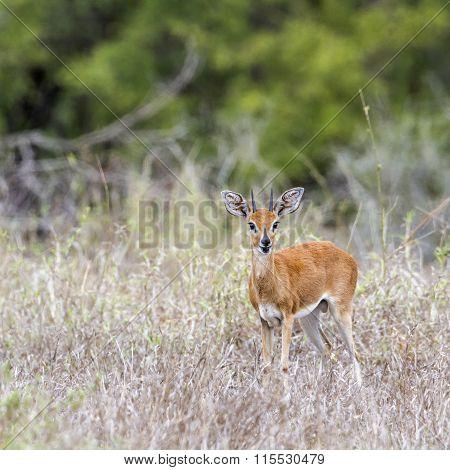 Steenbok In Kruger National Park