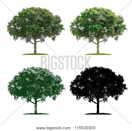Tree In Four Different Illustration Techniques - A Maple Tree