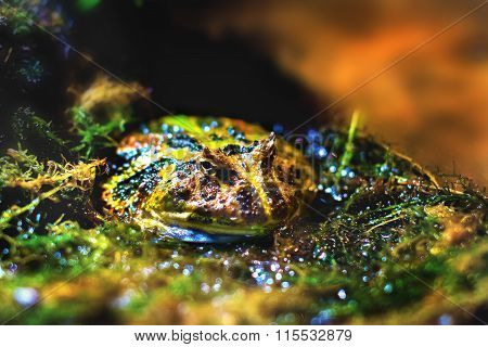 a Image exotic amphibians Brazilian horned toad poster