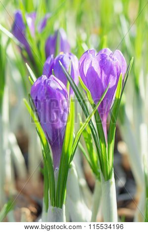 Springtime Flowering Of First Spring Purple Crocus Flowers