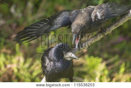Rook Corvus frugilegus hungry juvenile and adult