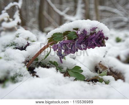 Corydalis Under Snow