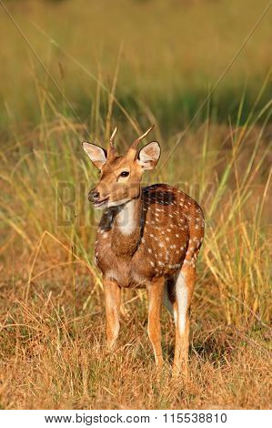 A young male spotted deer or chital (Axis axis), Kanha National Park, India