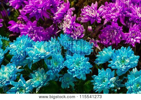 Blue and pink daisy flower closeup (Colorful Pyrethrum)