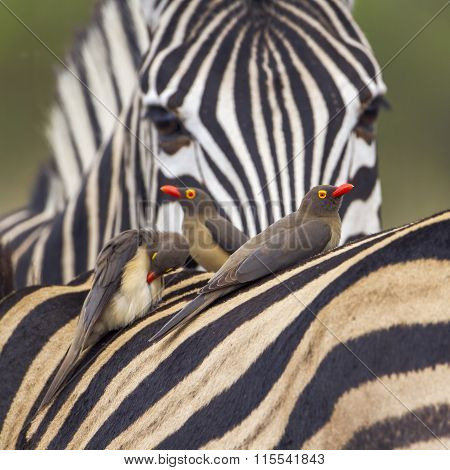 Red-billed Buffalo-weaver and zebras In Kruger National Park