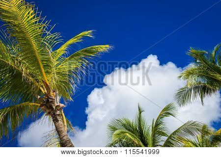 Coconut Palm Trees At The Sky, Mexico