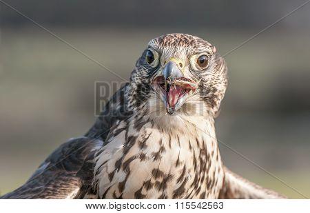 Hobby (Falco subbuteo) portrait, eating, close up