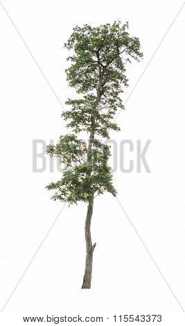 Tree On White
