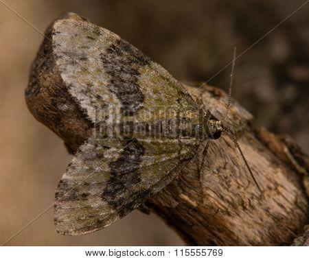 July highflyer moth (Hydriomena furcata)
