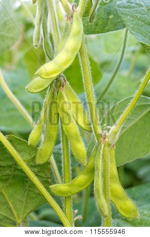 Young Green Soya Bean.