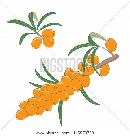 Sea buckthorn berries on a branch with leaves. Vector illustration.