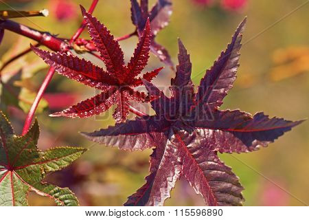 Leaves Of Ricinus