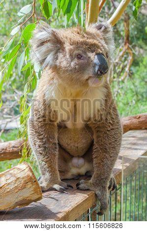 Australian Koala standing