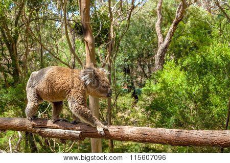 Male Koala Victoria Australia