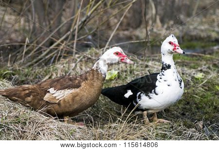 Two musky ducklings