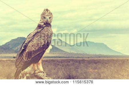Wild African Tawny Eagle. Vintage Effect
