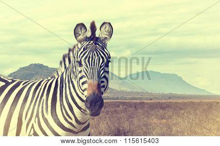 Wild African Zebra. Vintage Effect