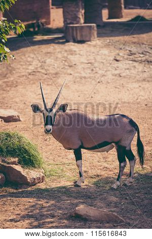The Gemsbok Is A Large Antelope In The Oryx Genus. Outdoors. Vintage Picture Style..