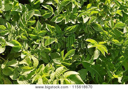 Potatoes Leaves As Background