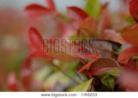 Red Hedge Leaves