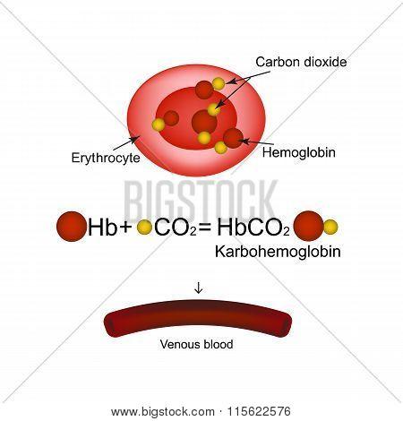 Karbogemoglobin. Hemoglobin carries carbon dioxide. Infographics. Vector illustration