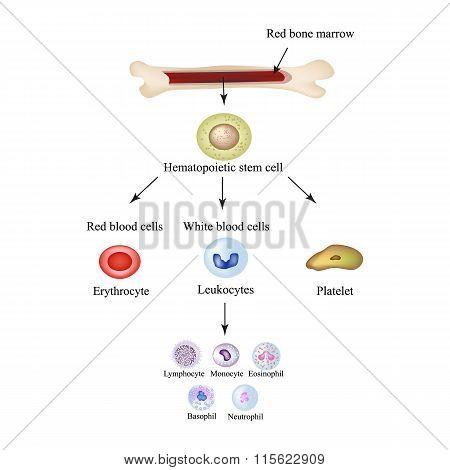 Limbo blood cells in bone marrow. Infographics. Vector illustration