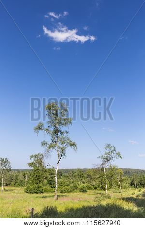 Birches And Green Landscape In The High Fens, Belgium