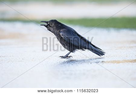 Crow Corvus corone on the iceCrow Corvus corone on the ice squawking