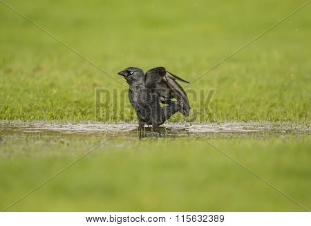 Jackdaw Corvus monedula standing in a puddle of water