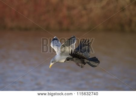 Crow Corvus corone flying with a Herring Gull Larus argentatus over a lake