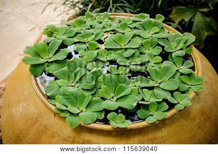 Floating Plant Water Lettuce Pistia Stratiotes Linn