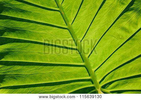 Close-up Of Leaf Veins, Giant Elephant Ear Or Green Taro