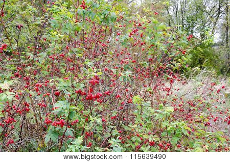 Forest Dogrose With Berries.