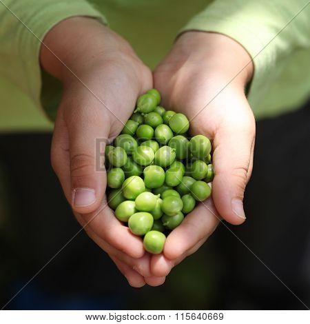 Children's Hands Holding  Fresh Green Peas.
