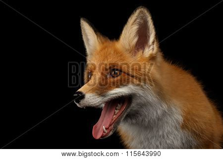 Closeup Portrait Of Smiled Red Fox Isolated On Black