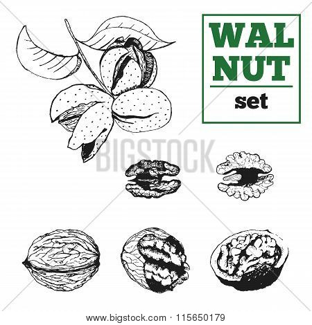 Walnut hand drawn vector set. Nut kernel, shell and  nutwood.