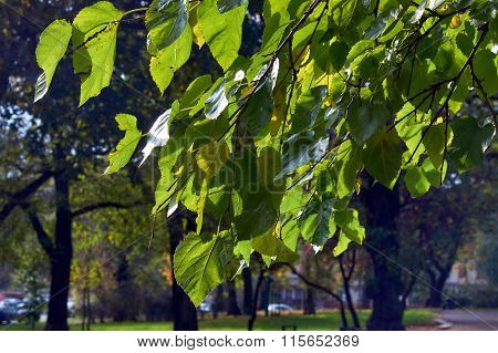 Autumn leaves on a tree in a park